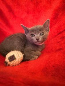 Korat Kitten weiblich 6 wochen alt