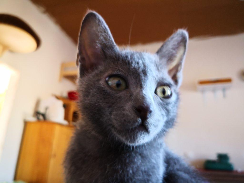 Korat Kitten